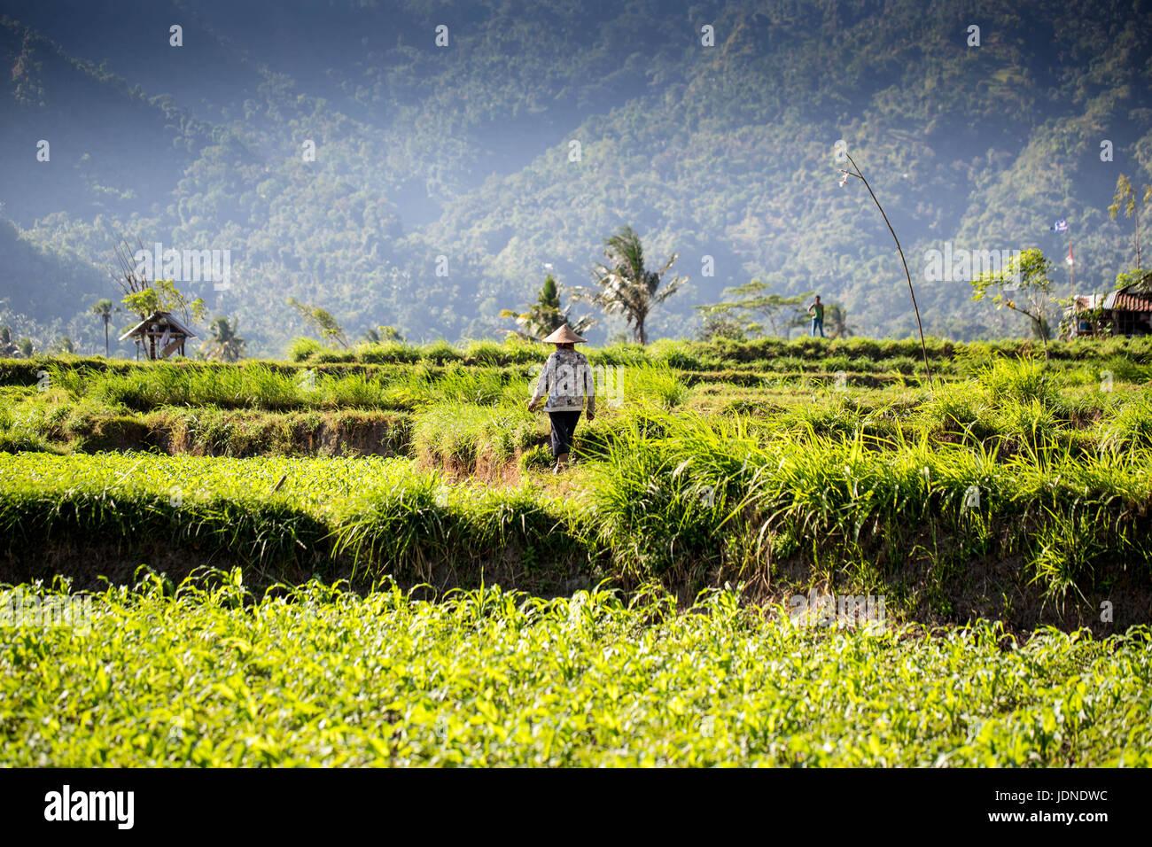 Terrazze di riso nel nord di Bali vicino Monte Agung con lavoratori Immagini Stock
