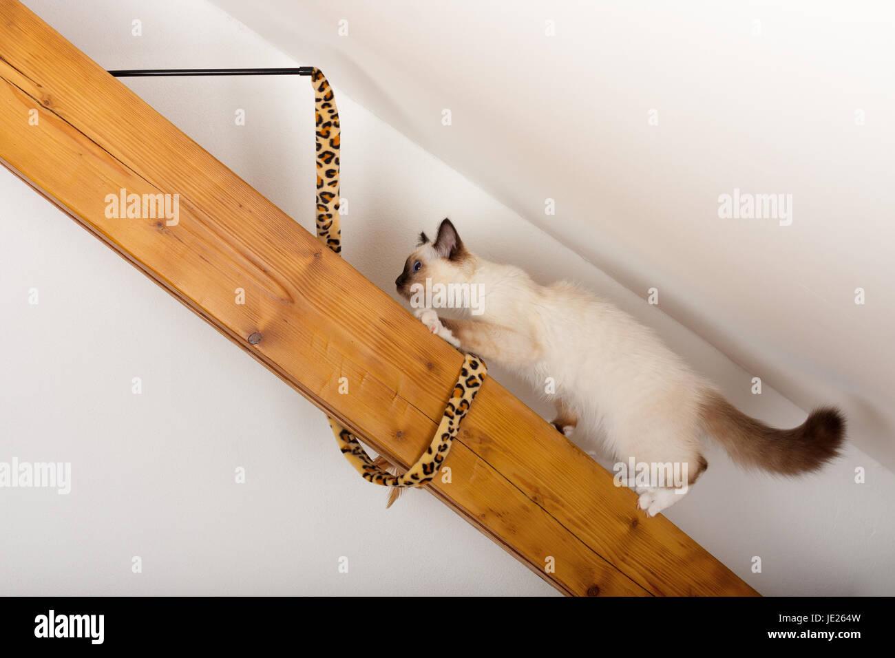 Un Punto Di Tenuta Birman Cat 4 Mese Vecchio Cucciolo Maschio