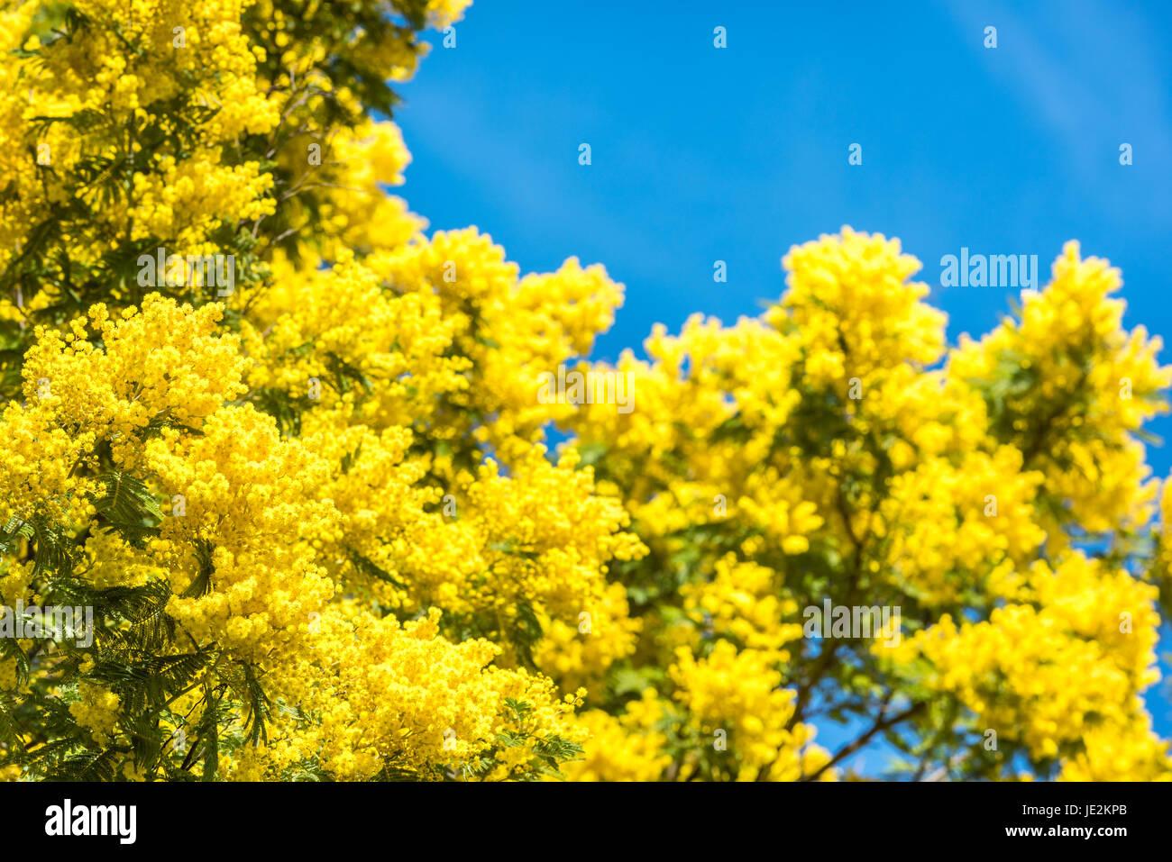 Fiore giallo di mimosa albero in primavera. Cielo blu come sfondo Immagini  Stock 6c7292822248