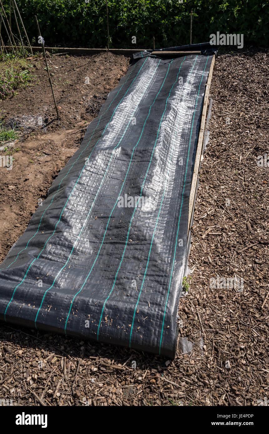 Una membrana protettiva di copertura prima emergenti Patate precoci in anticipo di previsioni meteo il pupazzo di Immagini Stock