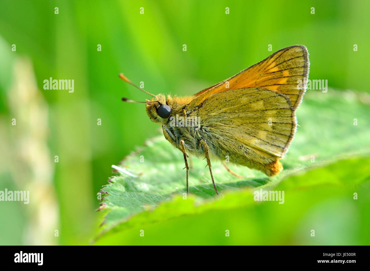 Grande Skipper butterfly (Ochlodes sylvanus underwing). Kent, Inghilterra, fine giugno Immagini Stock