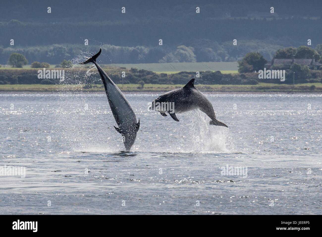 Due comuni delfini a naso di bottiglia, la perforazione off Chanonry Point, Black Isle, Moray Firth, Scotland, Regno Immagini Stock