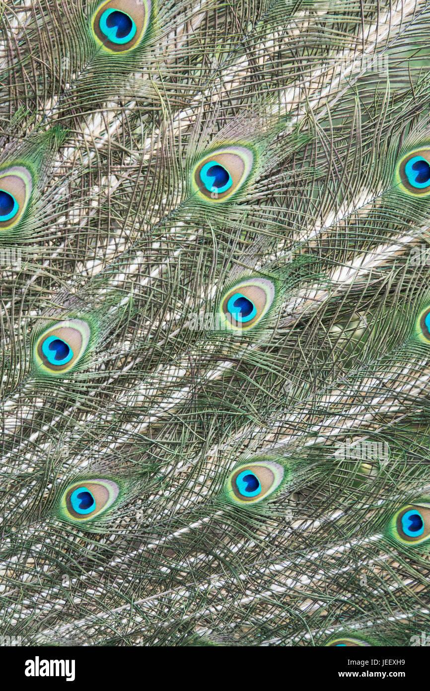 Dettaglio di penne di pavone. uccelli esotici piumaggio. wildlife pattern con gli occhi. Immagini Stock