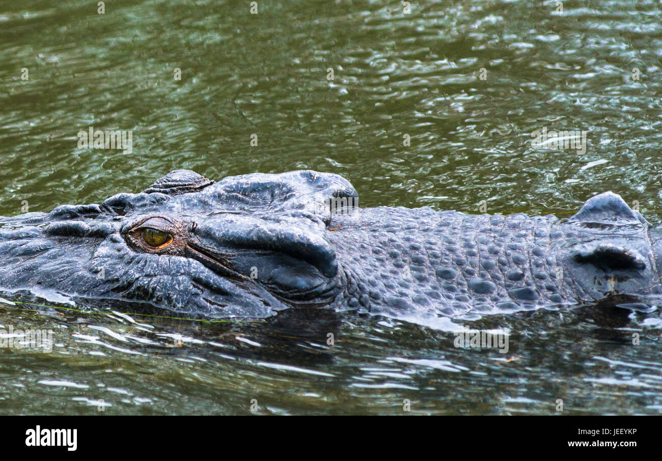 Coccodrillo di acqua salata close up su East Alligator river, il parco nazionale Kakadu, Territorio del Nord, l'Australia Foto Stock