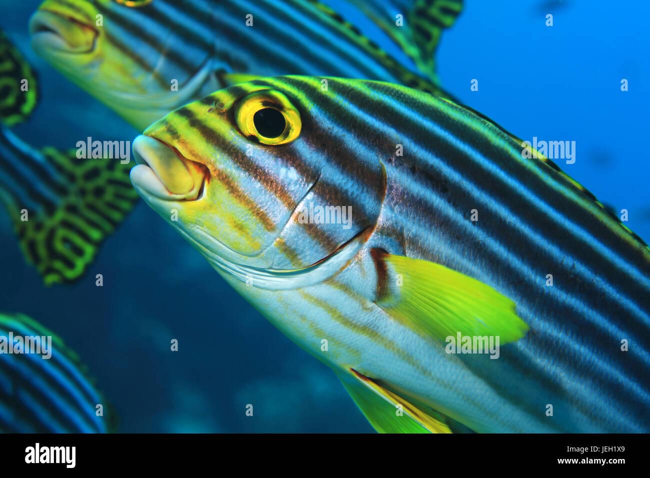 Oriental sweetlips pesce (Plectorhinchus orientalis) sott'acqua nel tropicale oceano indiano Immagini Stock