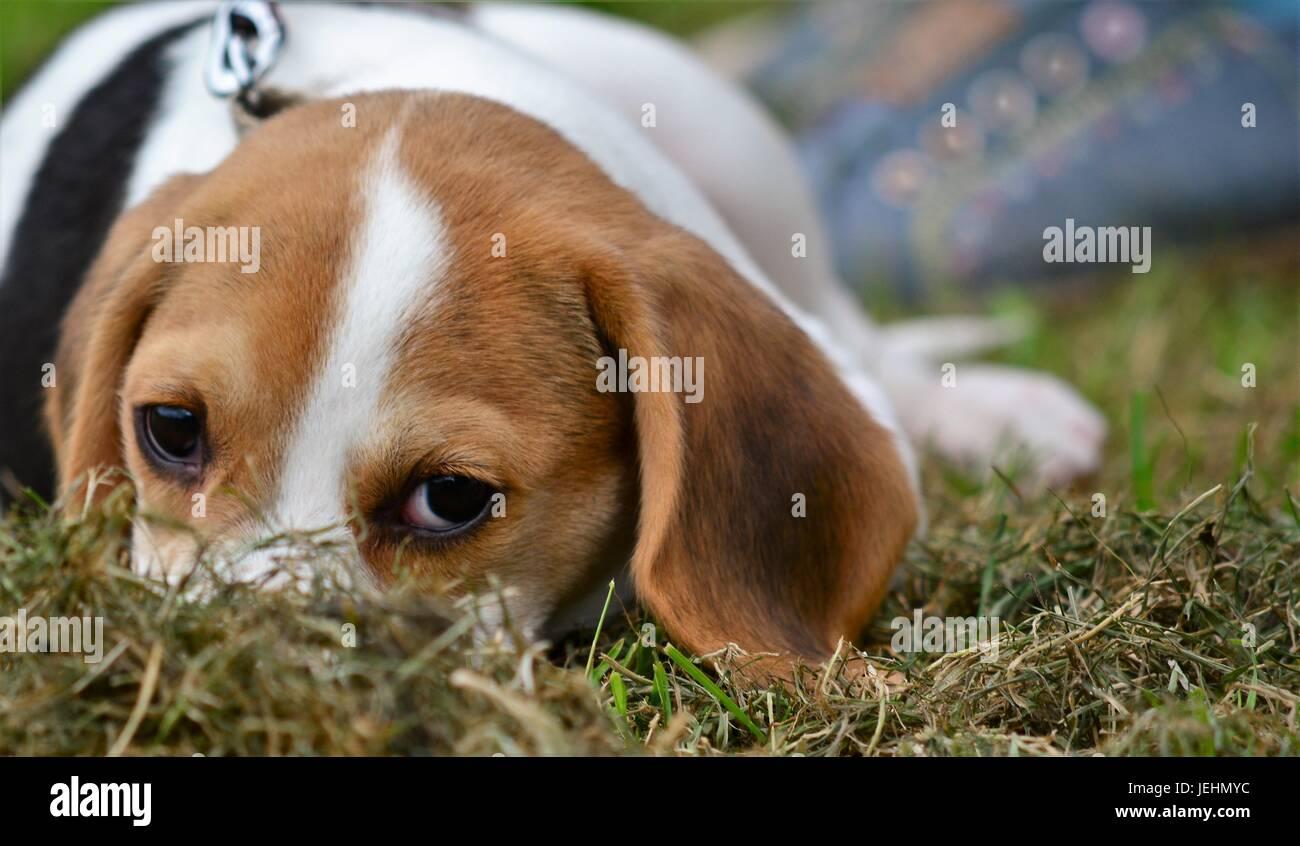 Il cane si rilassa durante il cane locale mostra al 2017 Banbury & District Show, Immagini Stock