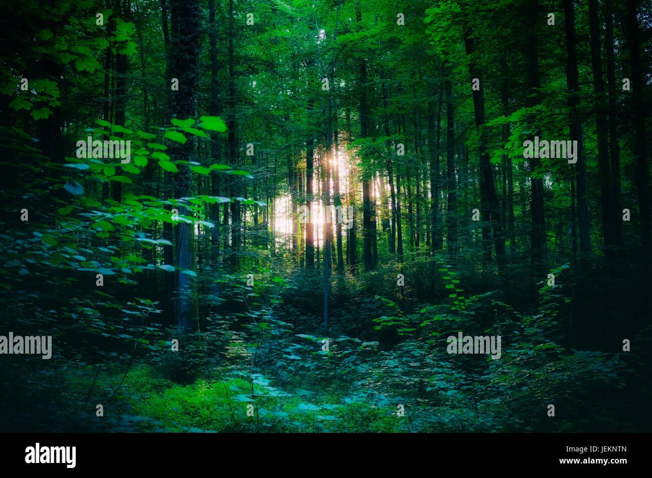 Luce che risplende attraverso gli alberi nei boschi Immagini Stock
