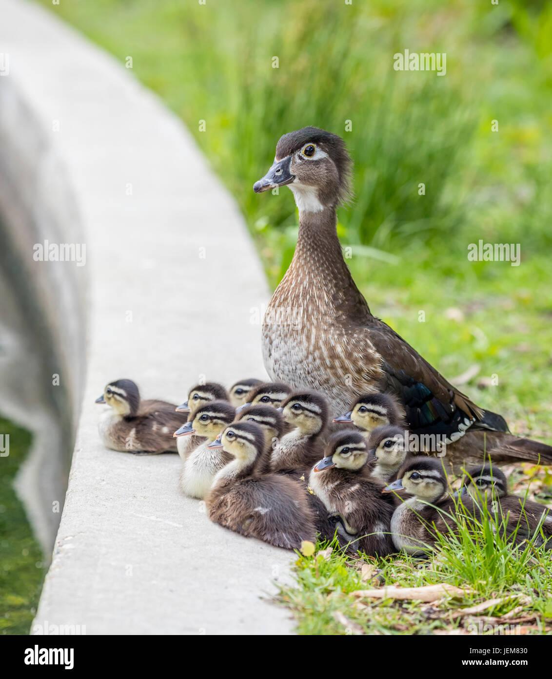 Una madre Anatra di legno con i suoi anatroccoli riuniti in corrispondenza del bordo della Duck Pond in Assiniboine Immagini Stock