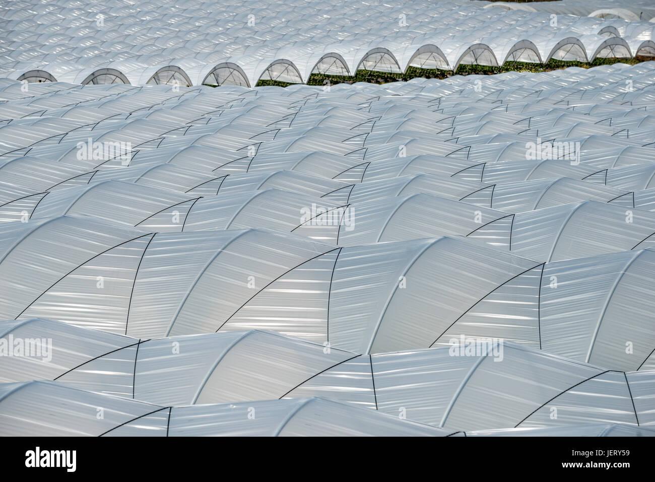 Tunnel Plastica Per Ortaggi.Coltivazione Di Fragole In Tunnel Di Plastica Vicino A Palos De La
