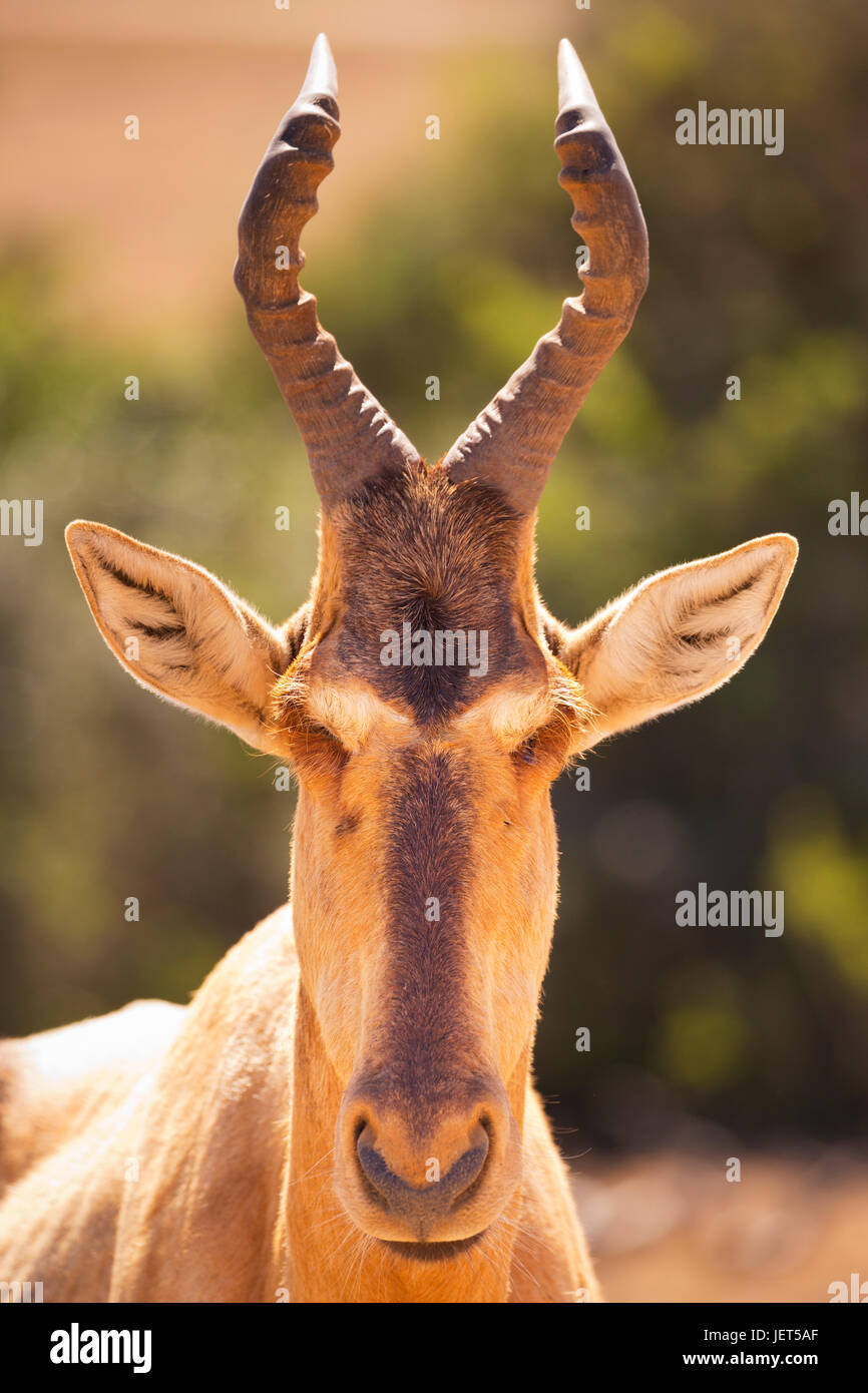 Close up di un hartebeest in Addo Elephant National Park, Sud Africa. Immagini Stock