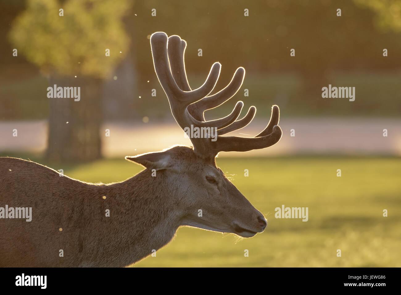 Retroilluminato cervo rosso cervo (Cervus elaphus) ritratto in velluto crescente palchi su una serata primaverile Immagini Stock