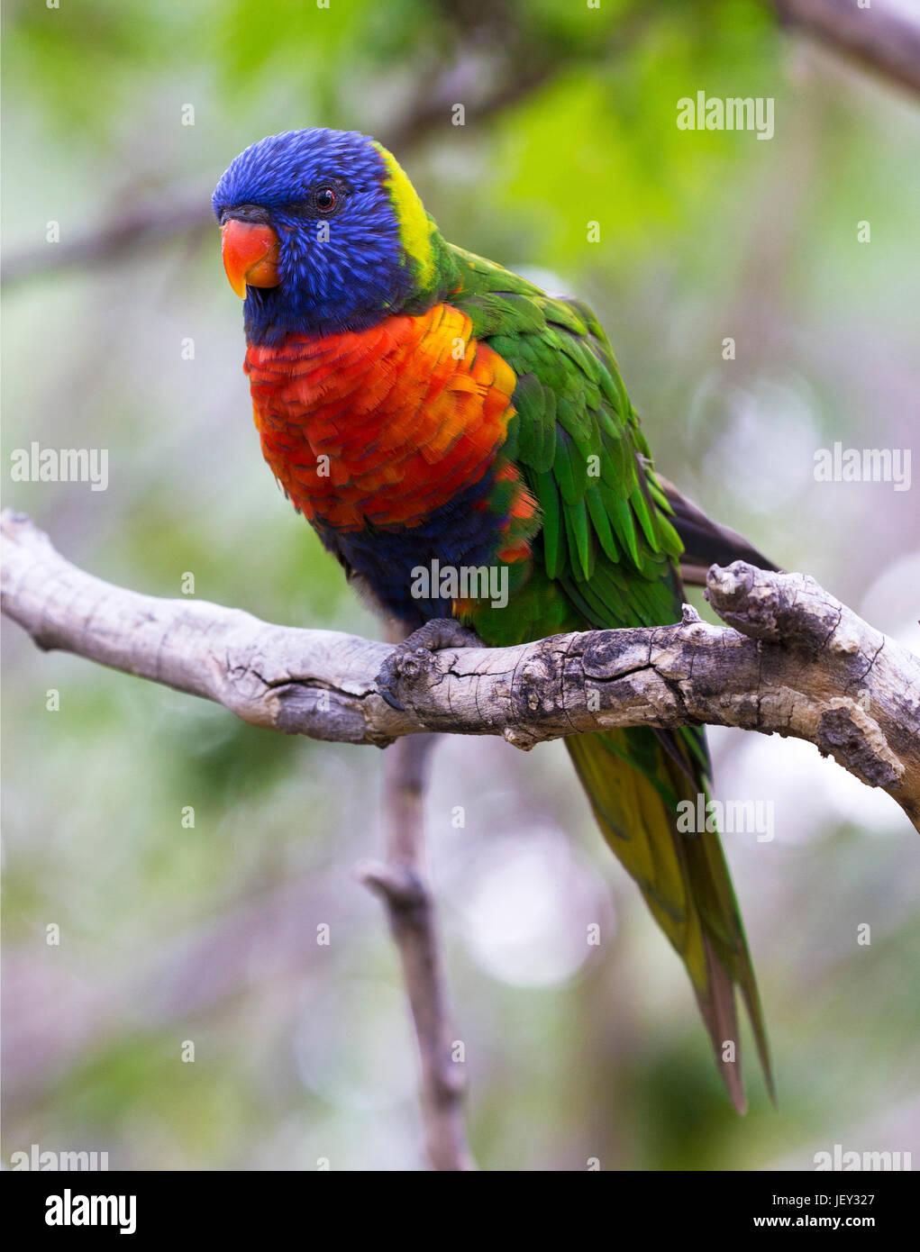 Ritratto di pappagallo - Rainbow Lorikeet Foto Stock