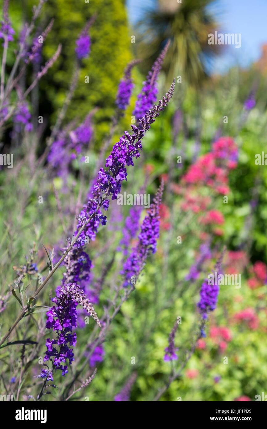 Giardino Speedwell (Veronica longifolia) lunghi fiori viola in un prato