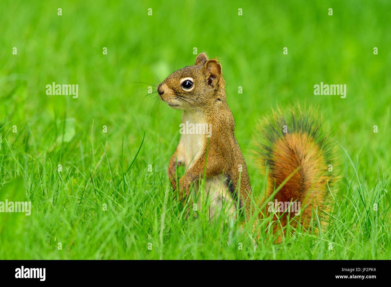 Uno scoiattolo rosso Tamiasciurus hudsonicus; in piedi sul suo piede posteriore guardando al lato nel profondo dell'erba Immagini Stock