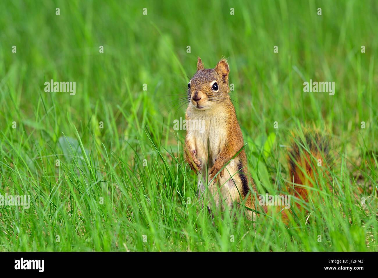 Uno scoiattolo rosso Tamiasciurus hudsonicus; in piedi sul suo piede posteriore guardando avanti nel profondo dell'erba Immagini Stock