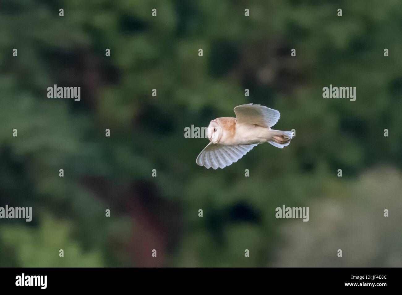 Vista laterale di un singolo Barbagianni (Tyto alba) volare su sfondo verde Immagini Stock
