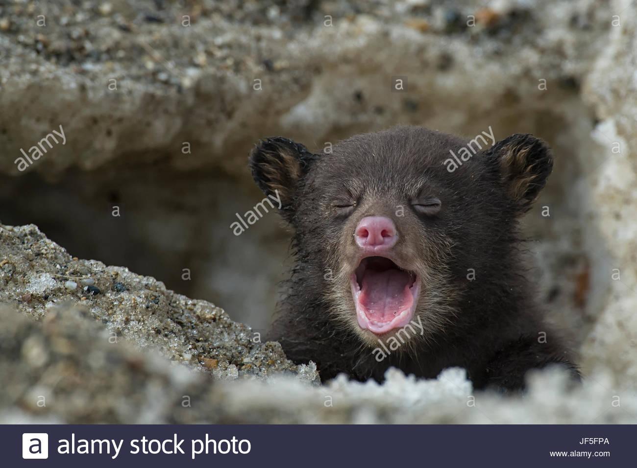 Una settimane-old Black Bear Cub piangendo come esso esce dalla sua tana per la prima volta. Immagini Stock