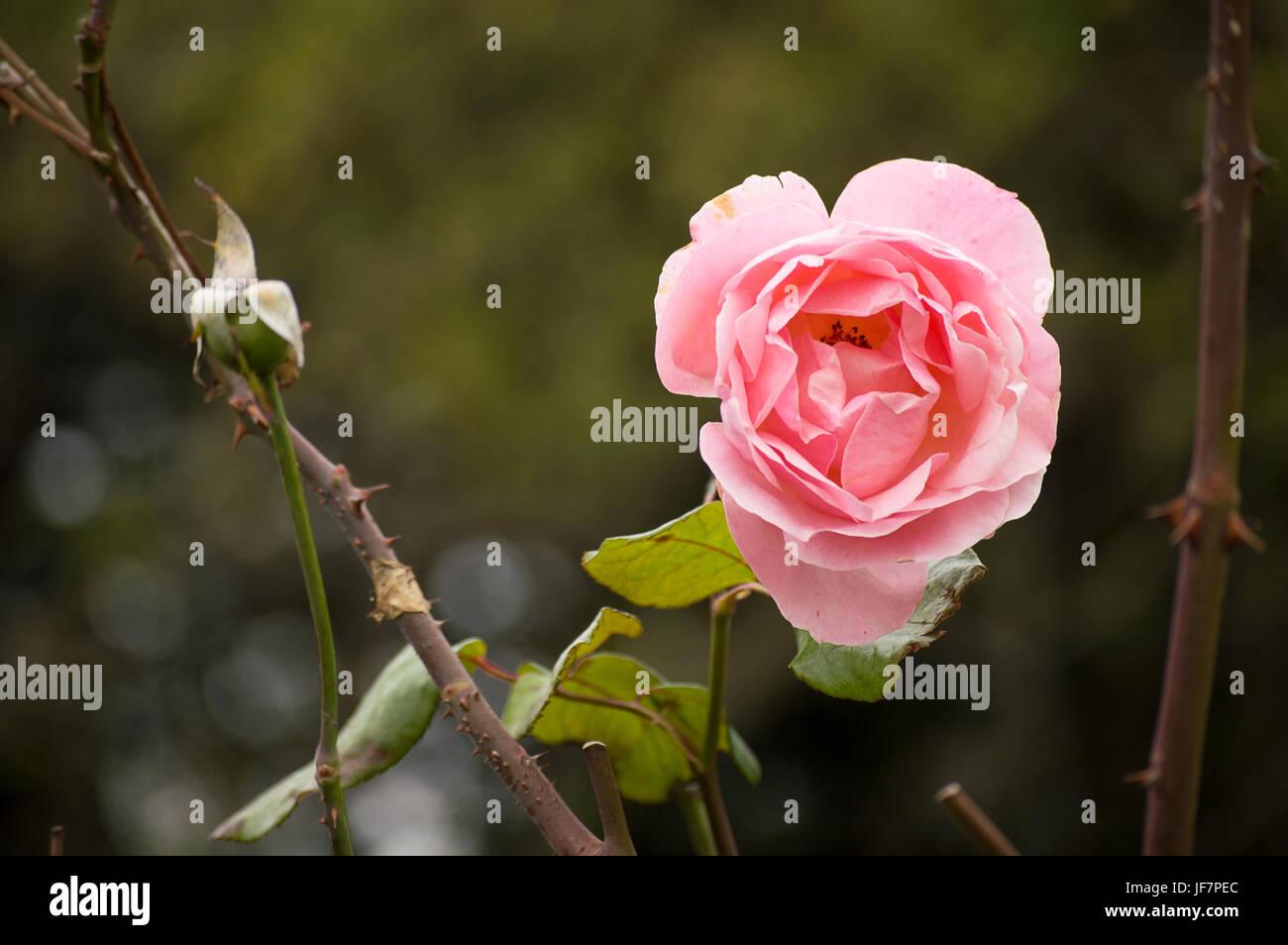Bella rosa su sfondo vegetale fuori fuoco al tramonto Immagini Stock