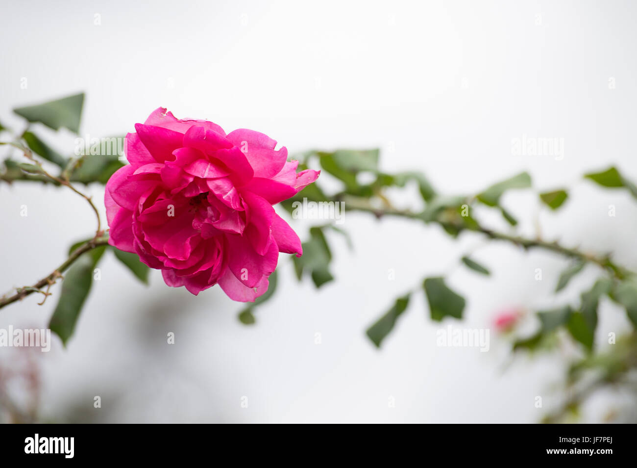 Bella rosa rosa su sfondo al di fuori della messa a fuoco in un giorno nuvoloso Immagini Stock