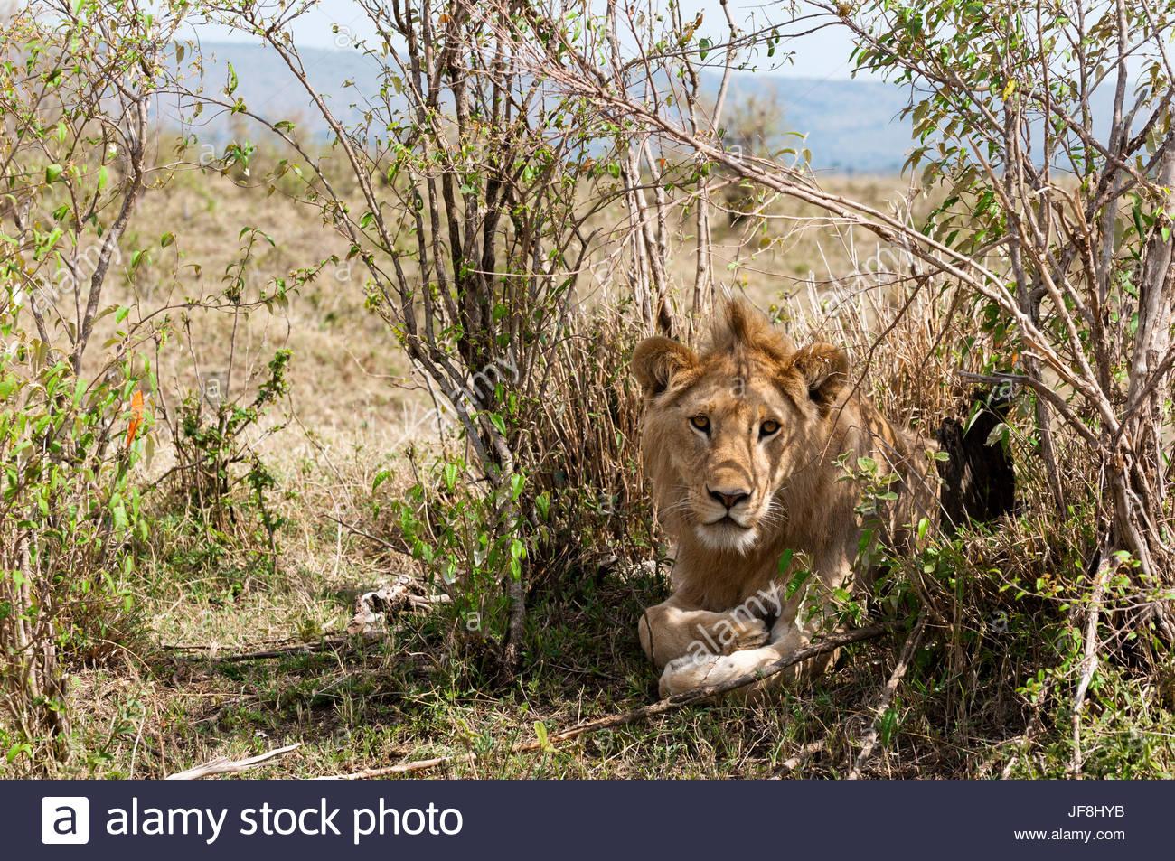 Un maschio di leone, Panthera leo, appoggiandosi sulla boccola. Immagini Stock