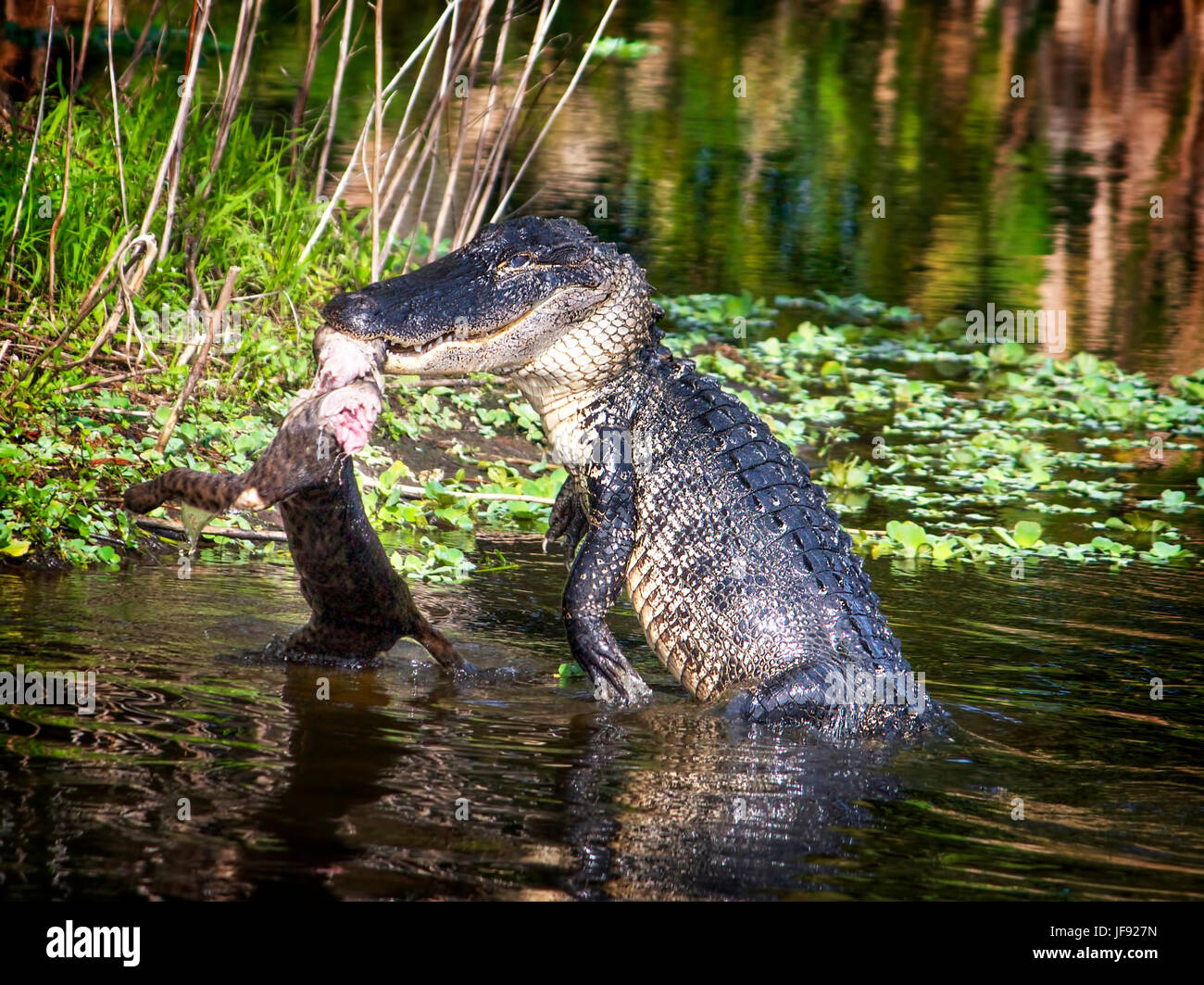 Il terzo di una serie di 4 immagini che mostrano un alligatore attaccando e mangiando un bobcat in Everglades della Immagini Stock