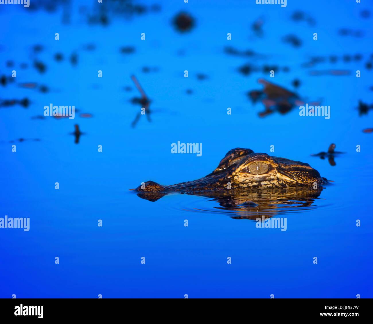 Un baby coccodrillo nella Florida Everglades. In questa fascia di età sono ancora vulnerabili ai predatori. Immagini Stock