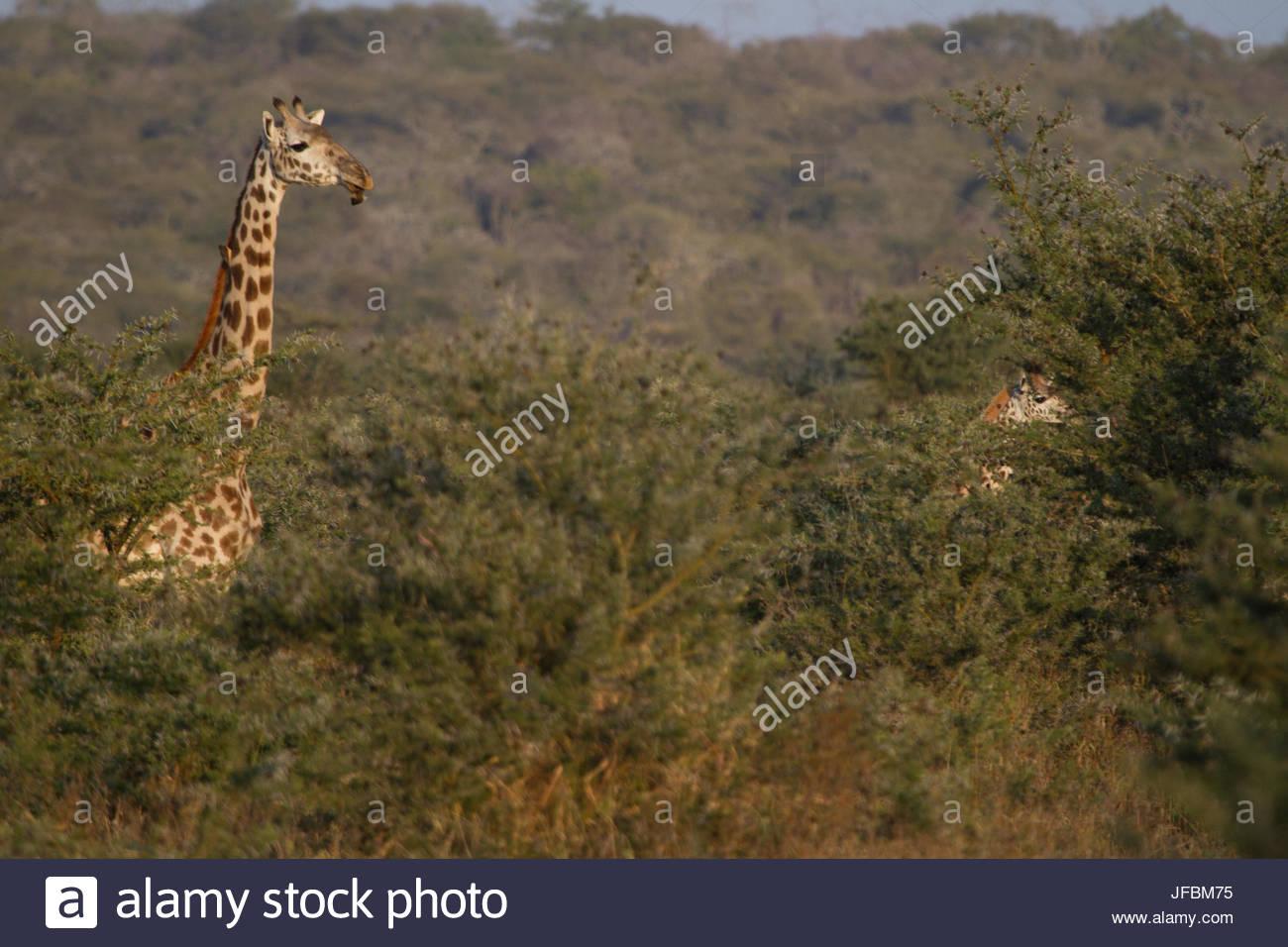 Una giraffa, testa sopra le cime degli alberi sulla steppa Masai. Immagini Stock