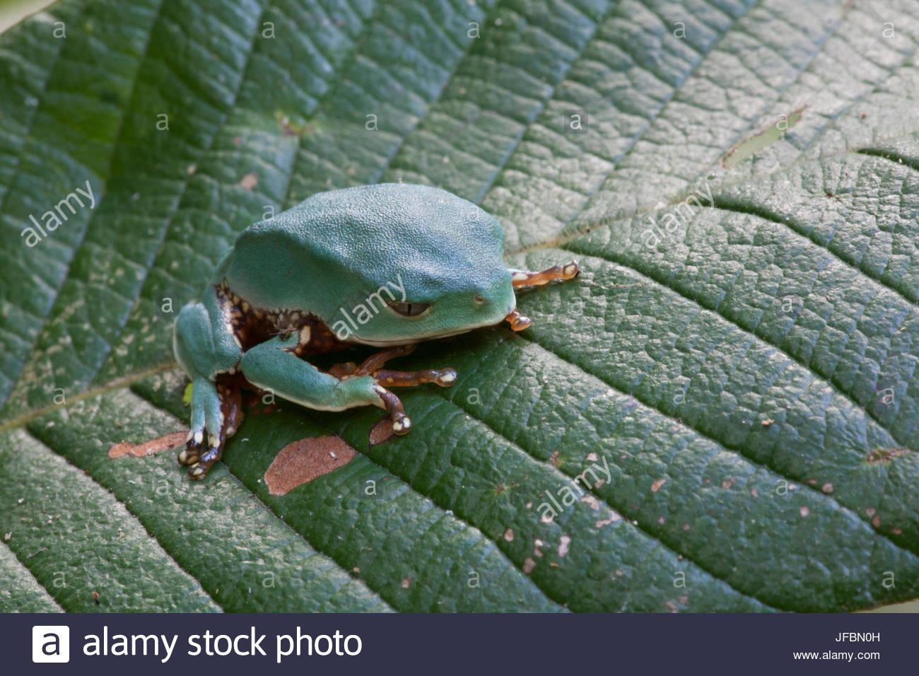 Una scimmia rana Phyllomedusa specie su una foglia nella foresta amazzonica. Immagini Stock