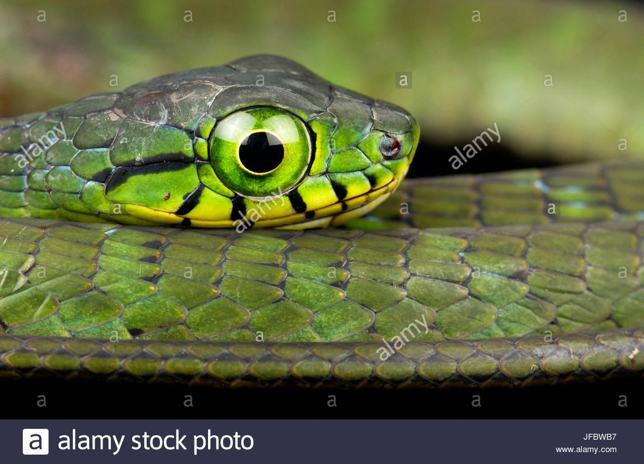 Un grande-eyed albero verde serpente Rhamnophis aethiopissa. Immagini Stock
