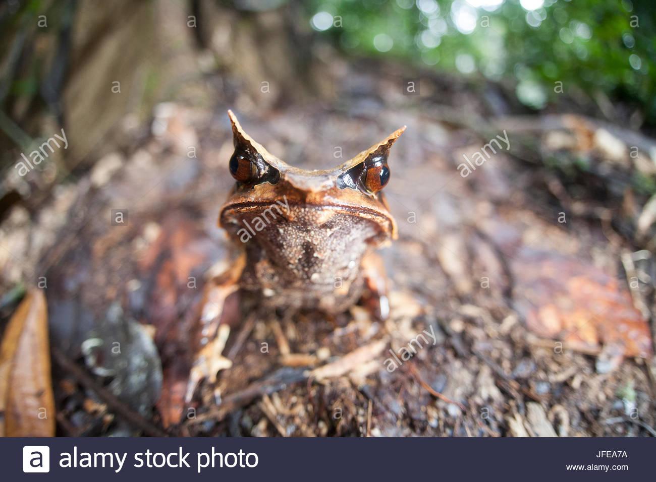 Un Bornean cornuto rana, Megophrys nasuta, sul suolo della foresta del Borneo. Foto Stock