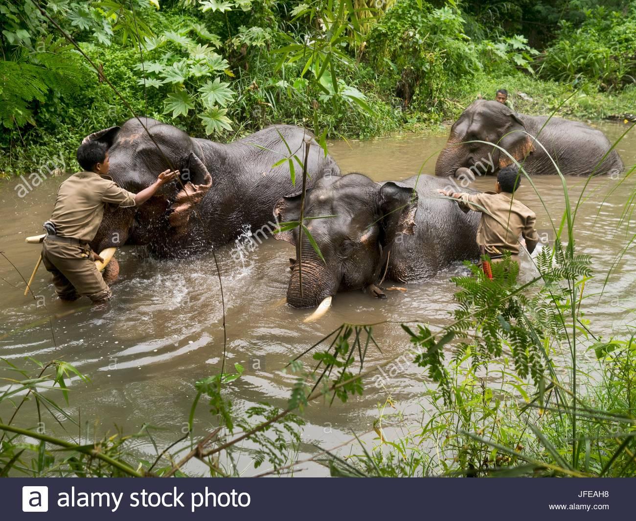 Rangers aiutare gli elefanti a bagnarsi in un fiume. Immagini Stock
