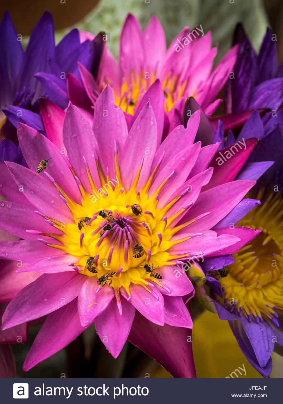 Le api raccolgono il polline di fiori viola in Mandalay. Immagini Stock
