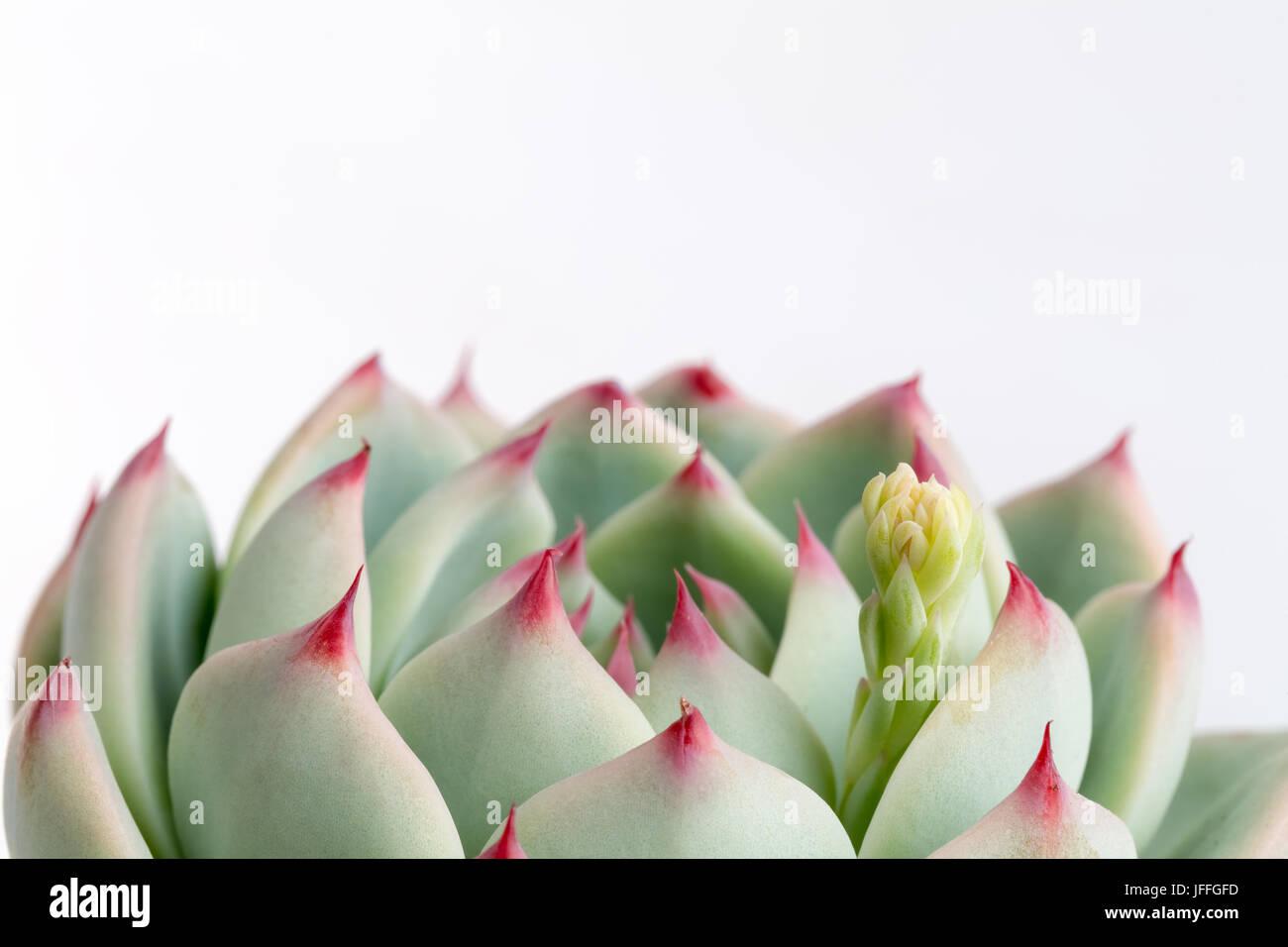 Piante succulente closeup Immagini Stock