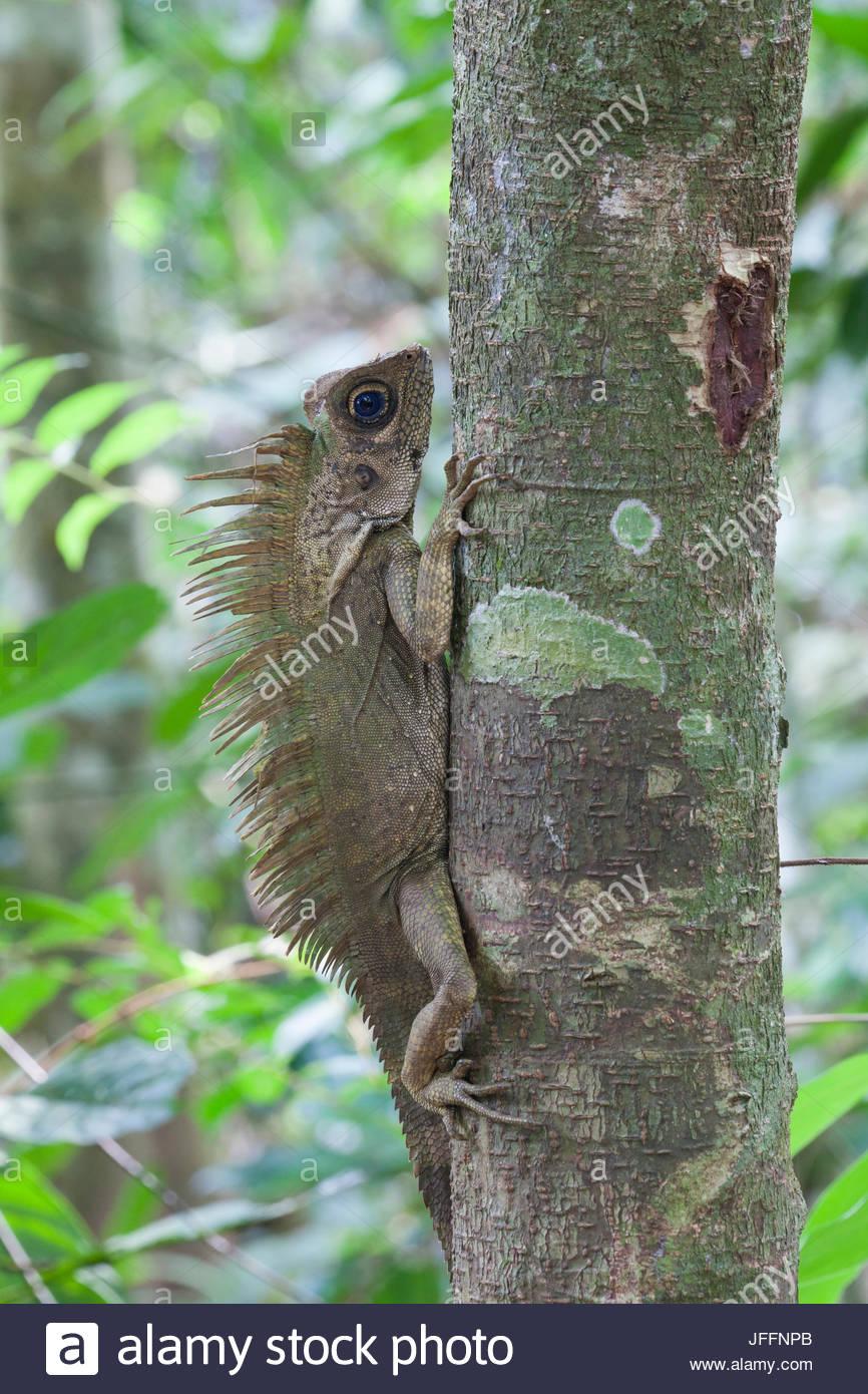 Ritratto di un blue-eyed con testa ad angolo lizard, Gonocephalus liogaster, su un tronco di albero. Immagini Stock