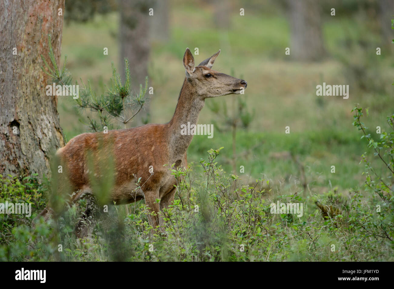 Red Deer hind maleodoranti nell'aria. Hoge Veluwe National Park, Paesi Bassi Immagini Stock
