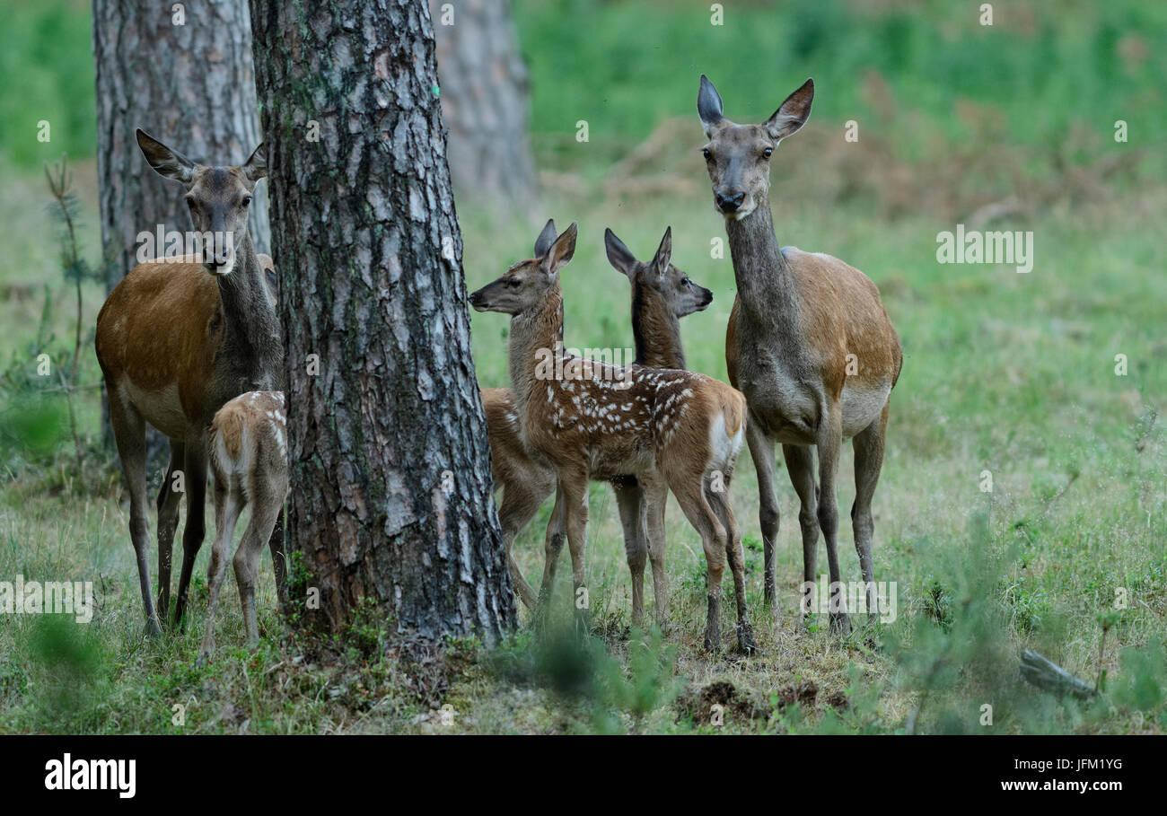 Gruppo di due Femmina di cervo e di tre croste. Hoge Veluwe National Park, Paesi Bassi Immagini Stock