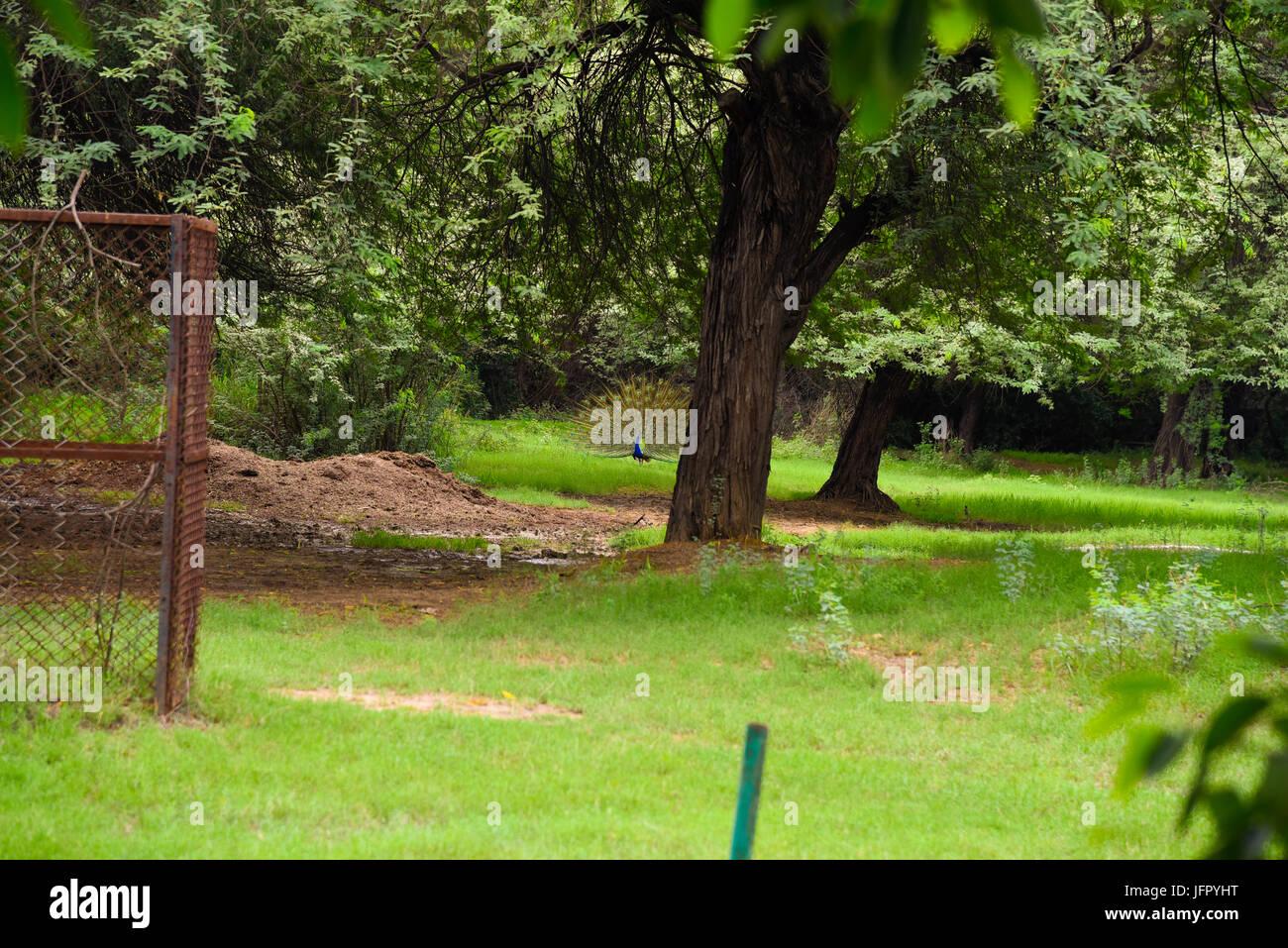 India di uccello nazionale Peacock all'aperto nel verde parco della natura o della foresta nel mese di giugno 2017 dopo la pioggia Foto Stock