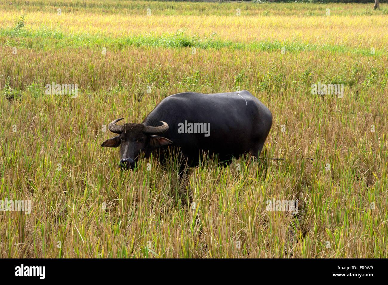 Philippine bufalo d'acqua, noto come carabao, Bubalus bubalis, in una risaia campo, Isola di Bohol, Filippine Immagini Stock