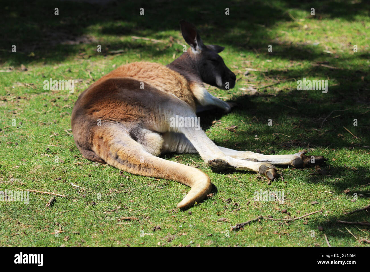 Rosso kangaro Immagini Stock