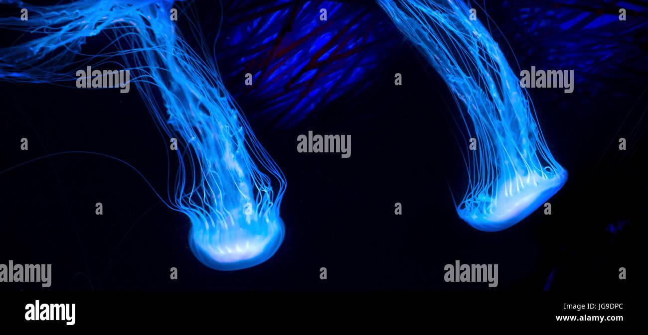 Una coppia di meduse incandescente muoversi con garbo attraverso l'acqua. Immagini Stock