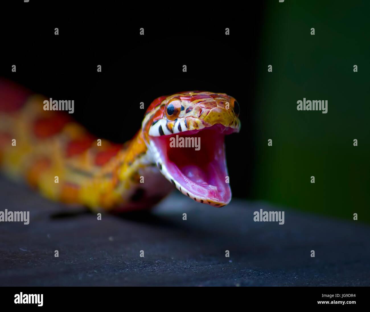 Un piccolo rosso serpente di ratto apre la bocca ampia in Everglades della Florida in questo vicino. Serpenti di Immagini Stock
