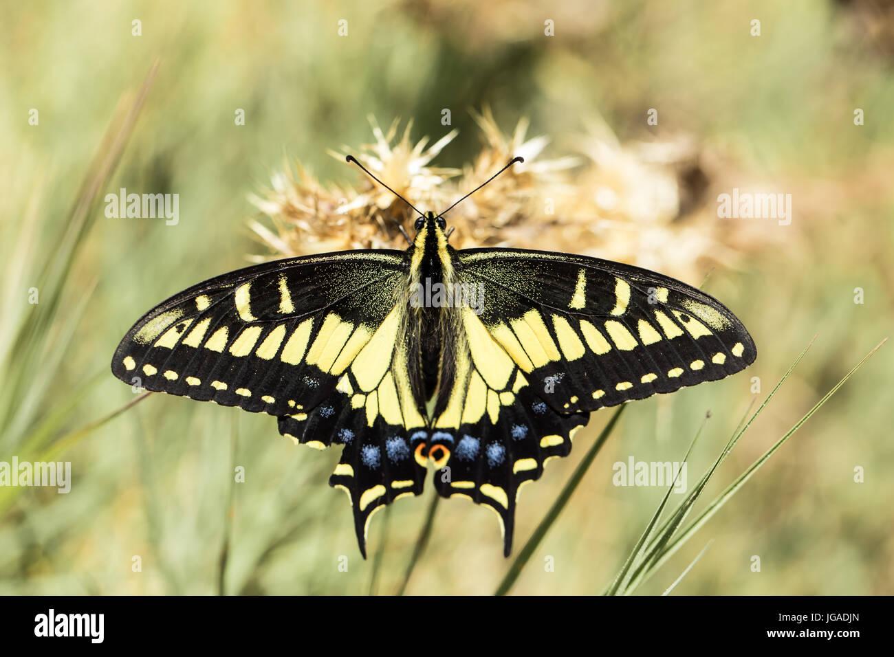 A coda di rondine di anice (Papilio zelicaon nectaring). Immagini Stock