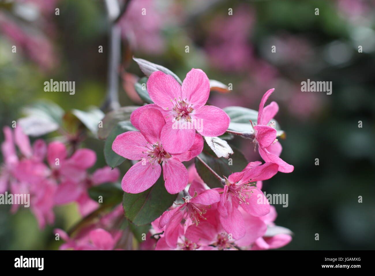 Himalayan (Balsamina Impatiens glandulifera) Fiori, REGNO UNITO Foto Stock