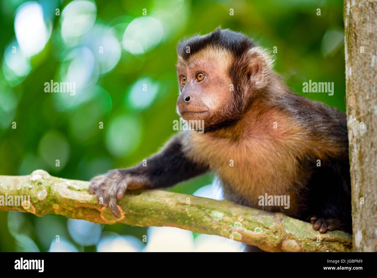 Nero scimmia Capouchin arrampicata su un albero nella foresta pluviale di Rio de Janeiro Immagini Stock