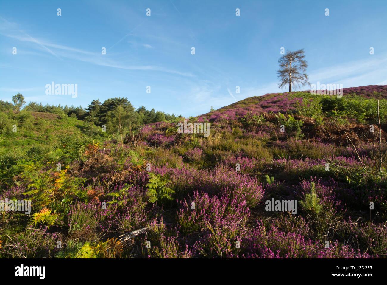 Vista su Ambersham comune nel South Downs National Park in estate con viola erica e colline Immagini Stock