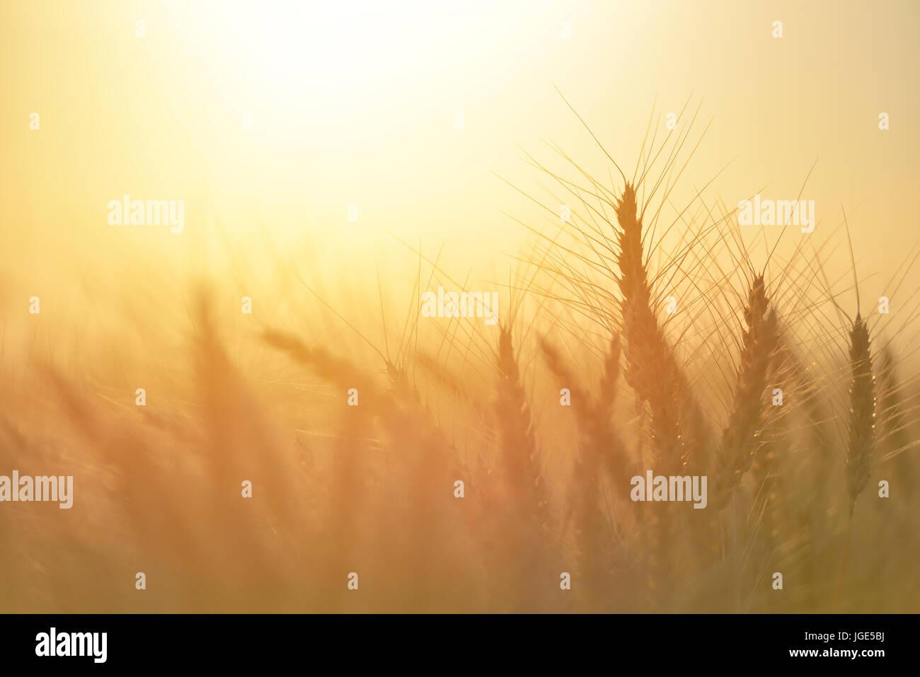 Campo di grano. spighe di grano dorato vicino. bellissima natura tramonto paesaggio paesaggio rurale sotto la luce del sole splendente. sfondo di orecchie di maturazione di me Foto Stock