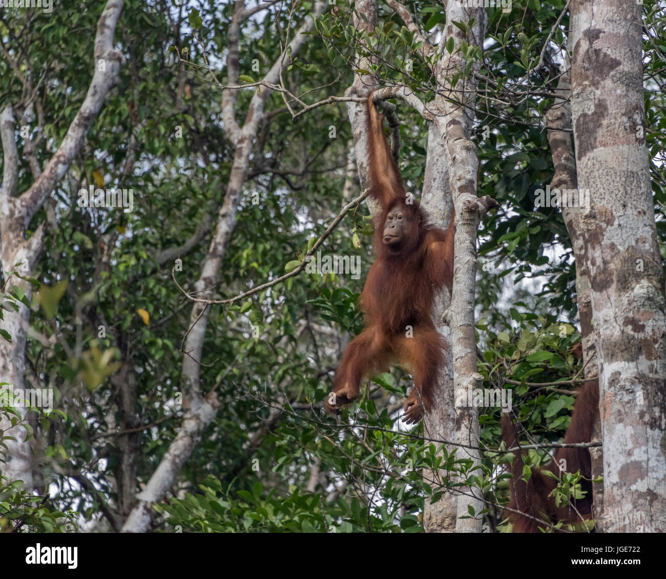 Giovani orangutan oscillanti in alberi, Tanjung messa National Park, Kalimantan, Indonesia Immagini Stock
