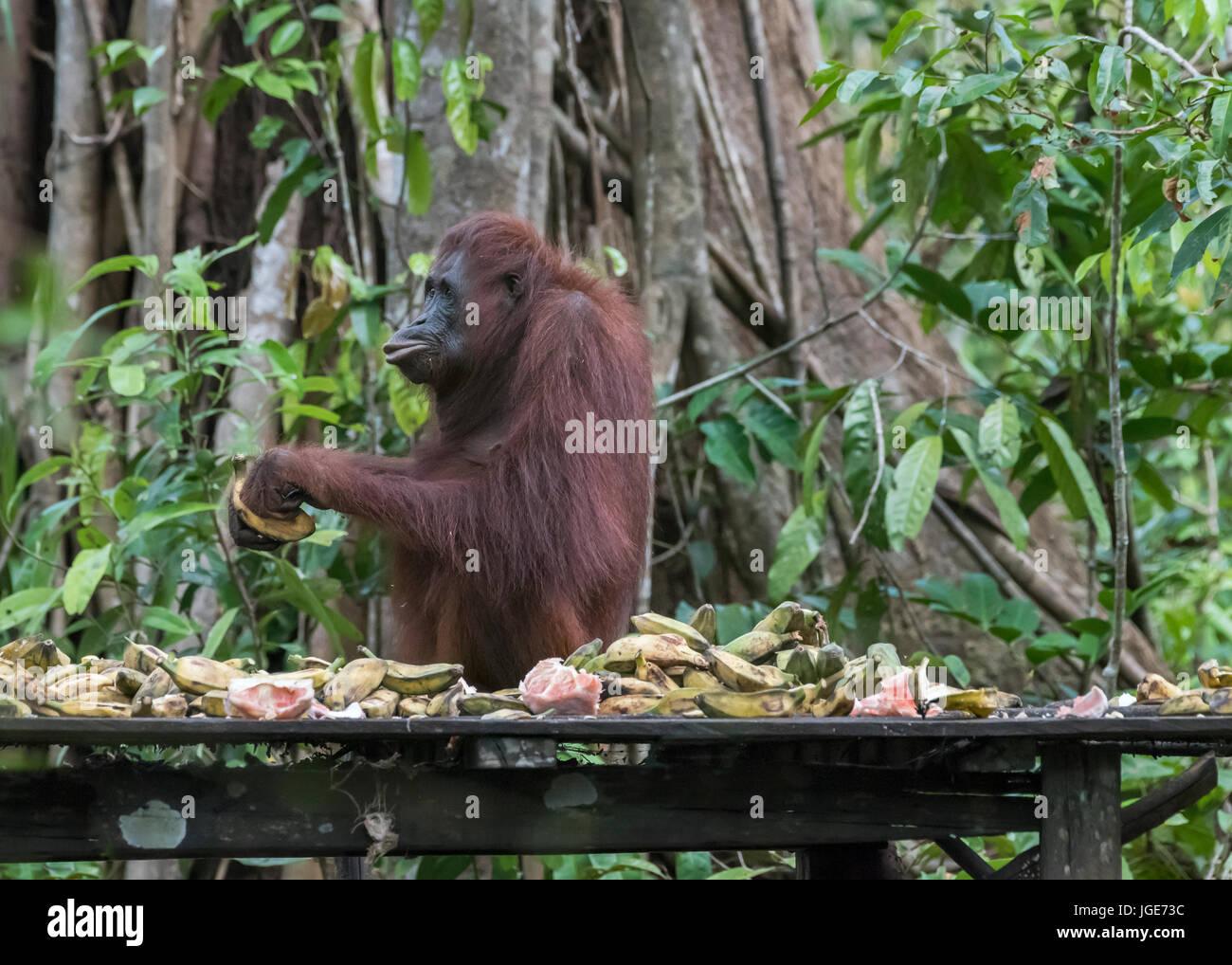 Adolescente orangutan in corrispondenza di una stazione di alimentazione, Tanjung messa NP, Indonesia Immagini Stock