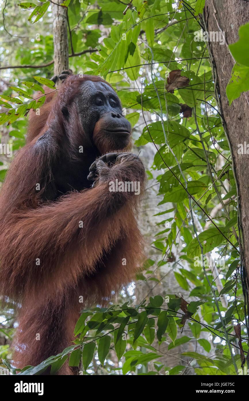 Wild orangutan nel bosco lungo il fiume Sekonyer, Tanjung messa National Park, provincia del Kalimantan, isola di Immagini Stock