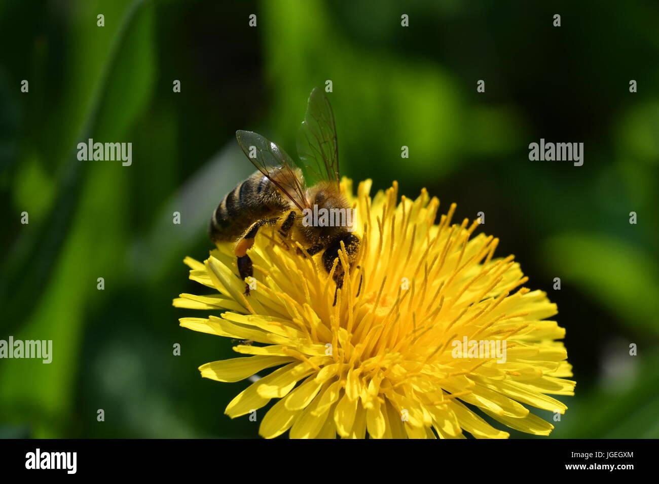 La macro bee polinates sul fiore Foto Stock